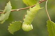 Poplar hawk-moth (Laothoe populi) feeding on aspen. Sussex, UK.