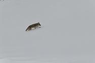 A coyote climbs a snow laden hillside