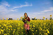 Young school girl, Jasbir Kaur, collects yellow flowers of Mustard plants in Chita Kalaan village, Punjab, India.