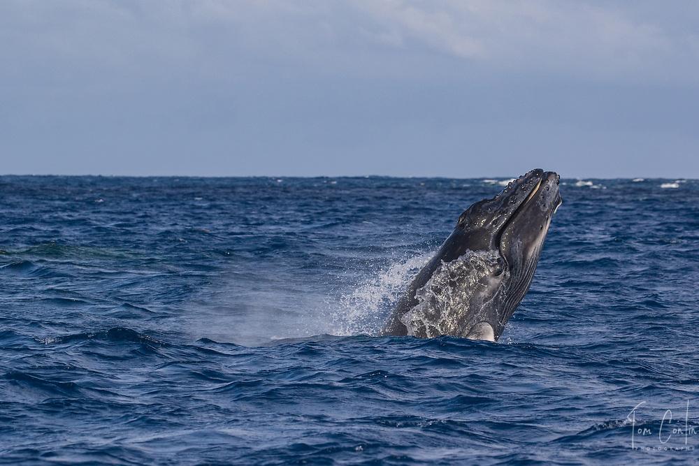humpback whale ~ Megaptera novaeangliae ~ calf chin breaching ~ Silver Bank, Dominican Republic ~ www.aquaticadventures.com