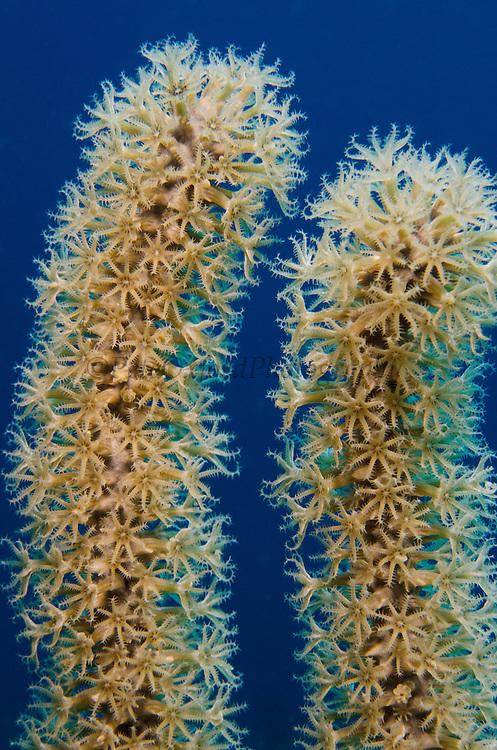 Porous Sea Rods (Pseudoplexaura spp.)<br /> BONAIRE, Netherlands Antilles, Caribbean<br /> HABITAT & DISTRIBUTION: Clear water reef environents<br /> Florida, Bahamas & Caribbean.