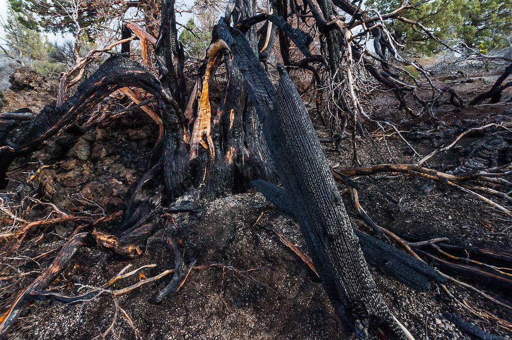 Forest fire damaged western juniper (Juniperus occidentalis), overcast light, April, Lava Beds National Monument, California, USA