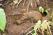 Central American Agouti, Dasyprocta punctata, Panama, Central America, Gamboa Reserve, Parque Nacional Soberania, female with young by nest hole