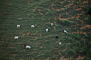 Domingos Martins_ES, Brasil...Gado pastando em Domingos Martins...Cattle grazing in Domingos Martins...Foto: LEO DRUMOND / NITRO