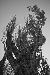 Cottonwood Tree in New Mexico