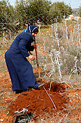 A palestinian woman planting an olive tree