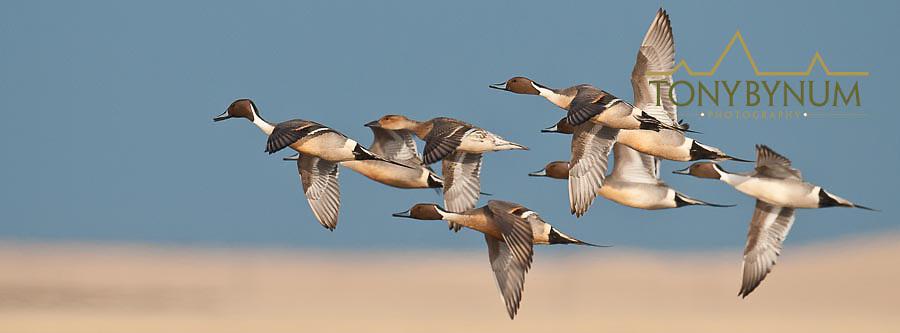 courtship flight, northing pintail ducks courship flight