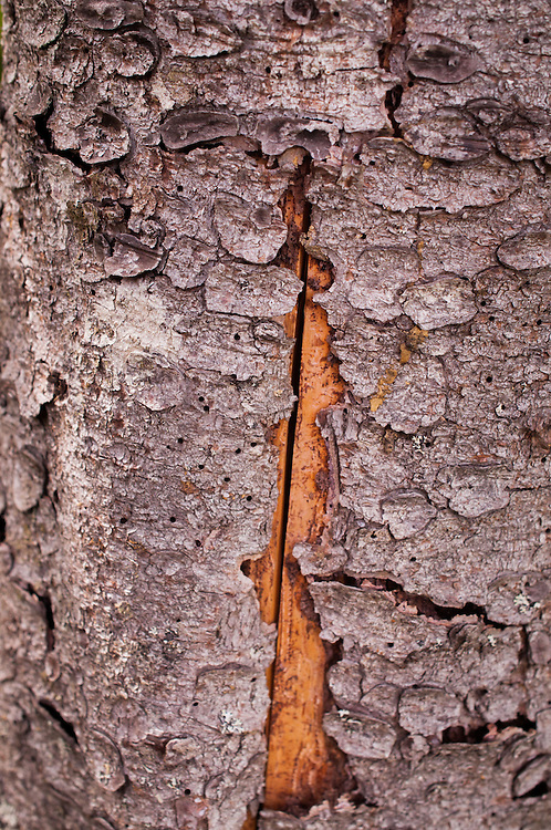 Bark Detail, Witherle Woods, Castine, Maine, US