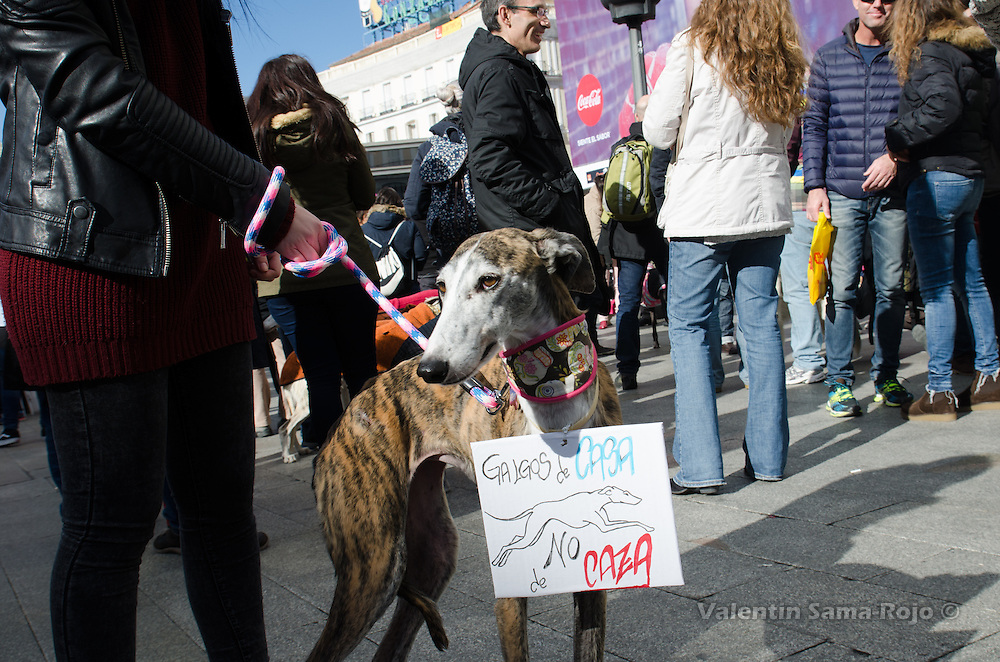 Madrid, Spain. 7th Feb, 2016. A greyhound carrying a small placard in Spanish 'Greyhound from home not of hunting' during the demonstration against hunting with dogs held in Madrid.