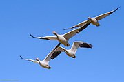 A small flock of snow geese fly directly over head, showing the use of their wings to gain thrust and lift.