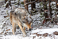 Snowy Grey Wolf, Canyon Pack, Yellowstone National Park.  A summer snow on June first creates a wintery landscape on this summer day.