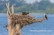 00783-01909 Osprey (Pandion haliaetus) feeding chick at nest Rend Lake Jefferson Co. IL