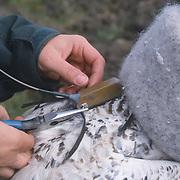 Attaching a satellite transmitter to a female snowy owl, Barrow, Alaska.