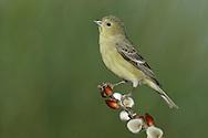 Lesser Goldfinch - Carduelis psaltria - female