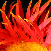 Coral flower, Brisbane, Australia (June 2002)