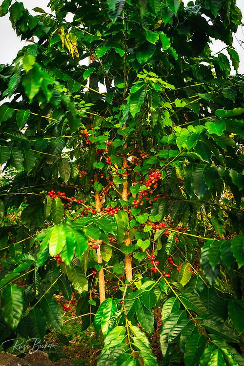 Red Kona coffee cherries on the vine, Captain Cook, The Big Island, Hawaii