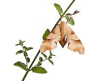Oak hawkmoth, Marumba quercus, Queyras, France, Europe