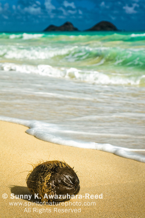 Drifted coconut at Bellows Beach. Mokulua Islands in the background. Oahu Island, Hawaii.