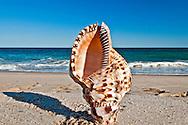 Seashell, Giant Triton or Trumpet Triton shell, Triton (gastropod) (Charonia tritonis),