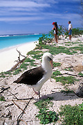 Albatross, Midway Island, Papahanaumokuakea Marine National Monument,  Northwest Hawaiian Islands
