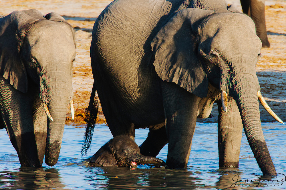 A small African elephant calf (Loxodonta africana) cools off with a swim at a water hole beneath its mother who is drinking, Hwange National Park, Zimbabwe,Africa