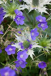 Geranium 'Brookside' with Eryngium giganteum