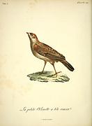 Alouette à tête rousse [Rufous-headed lark] from the Book Histoire naturelle des oiseaux d'Afrique [Natural History of birds of Africa] Volume 4, by Le Vaillant, Francois, 1753-1824; Publish in Paris by Chez J.J. Fuchs, libraire 1805