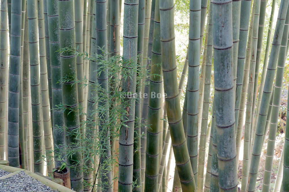 bamboo grove with young sprout twig in front