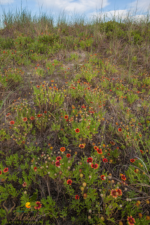 Wild Indian Blanket flowers on Dunes in South Carolina