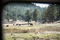 Cows near Jemez Valley, New Mexico.