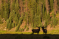Bull elk challenge each other in Rocky Mountain National Park, Colorado.