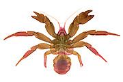 An X-Ray of a Coconut Crab (Birgus latro)  World's largest living arthropod.