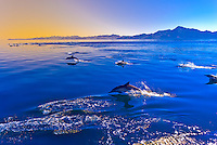 A pod of Pacific White Sided Dolphins, Sea of Cortes, near Puerto Escondido, Baja California Sur, Mexico
