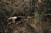 HUNTING WILD BOAR, France. Ardeche. Wild boar & deer hunting with dogs and hounds. A pursuit which is loved by some and hated by others. The hunters say hunting is natural, their opposers say it is bloodthirsty. There are millions of guns and it is a popular bloodsport.