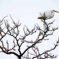 A great egret in a tree at Sandy Hook