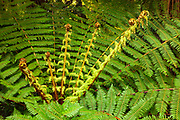 Tree fern, Lake Kaniere, Hokitkia district, West Coast, New Zealand.