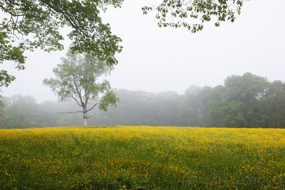 A field of yellow wild flowers in Maine on a foggy morning.