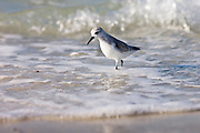 Sanderling, Calidris alba, on shoreline at Anna Maria Island, Gulf of Mexico, Florida, USA