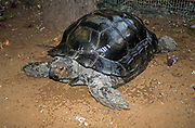 The Asian forest tortoise (Manouria emys), also known commonly as the Asian brown tortoise, is a species of tortoise in the family Testudinidae. The species is endemic to Southeast Asia. It is believed to be among the most primitive of living tortoises, based on molecular and morphological studies.