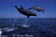 bottlenose dolphins, Tursiops truncatus, jumping, Anthony's Key Resort, Roatan, Bay Islands, Honduras ( Caribbean Sea )