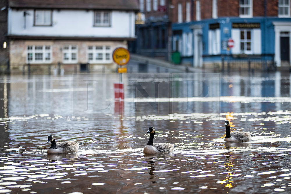 © Licensed to London News Pictures. 12/03/2021. York UK. Geese swim down a flooded footpath in York as the River Ouse broke its banks this morning flooding riverside footpaths & property after heavy rainfall. Photo credit: Andrew McCaren/LNP