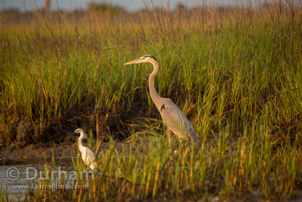 A great blue heron (Ardea herodias) and a cattle egret (Bubulcus ibis) hunting in the salt marsh at Timucuan Ecological and Historic Preserve, Florida.