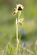 Early spider orchid (Ophrys sphegodes), backlit by the setting sun. Dorset, UK.