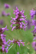 Betony - Stachys officinalis