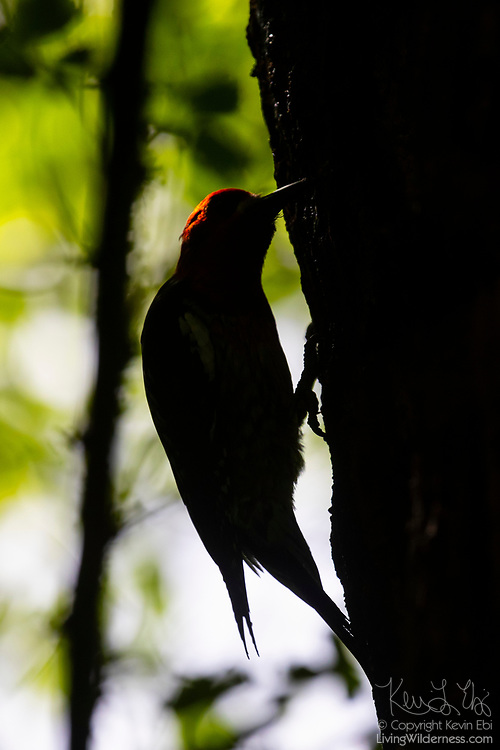 A red-breasted sapsucker (Sphyrapicus ruber) rendered in near silhouette drills holes in an elm tree in Snohomish County, Washington. The red-breasted sapsucker is known for drilling neat rows of shallow holes into trees to collect sap.