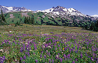 Wildflower meadows above Singing Pass, Whistler, BC, Canada are abundant with lupin, valerian and other wildflowers. Fissile Mountain rises behind.