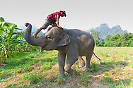 Elephant Hills Luxury Tented Camp in the rainforest in Southern Thailand. The Elephant Experience which offers an opportunity to interact, feed and wash the endangered Asian Elephant.  A mahout gets on top of his elephant via the trunk of the animal.