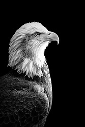A blad eagle displays his prowess in a black and white side profile