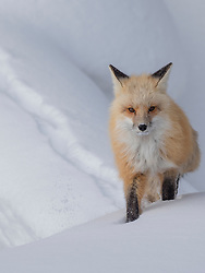 North America, United States, Wyoming, Yellowstone National Park, Red Fox