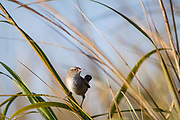 A marsh wren peeks from among stalks of golden grass (spartina) in the fall marsh of the May River.